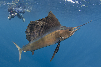 Sailfish Bait Ball