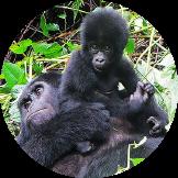 Mountain Gorillas and baby