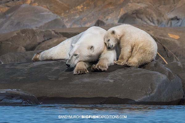 Mom and baby polar bear in Churchill. Snorkeling with belugas.