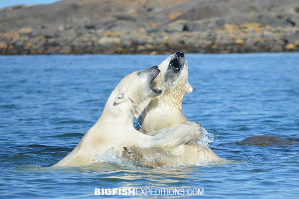 Polar bears swimming in water