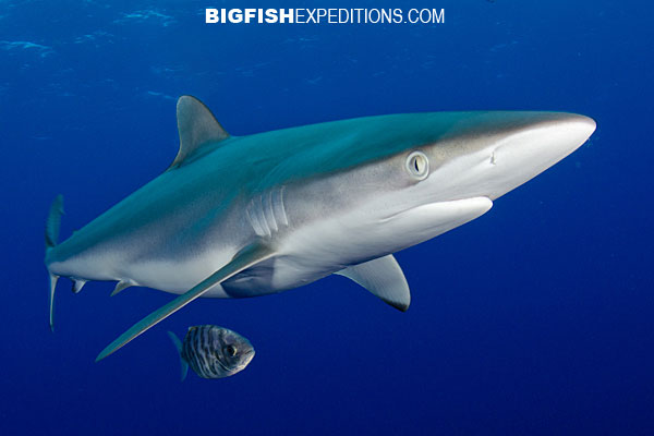 Silky shark diving cat island bahamas