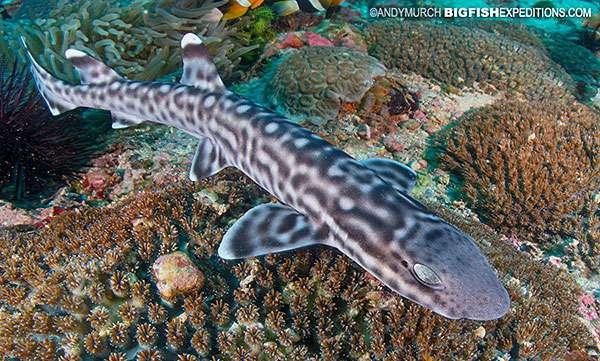 Coral Catshark diving