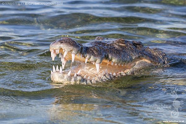 Crocodiles at Banco Chinchorro