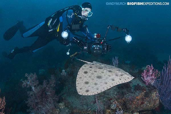 Japanese butterfly ray diving