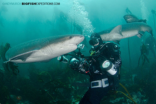 Diving with sevengill sharks