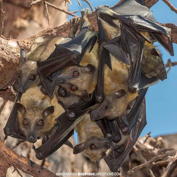 Straw Coloured Fruit Bats Roosting