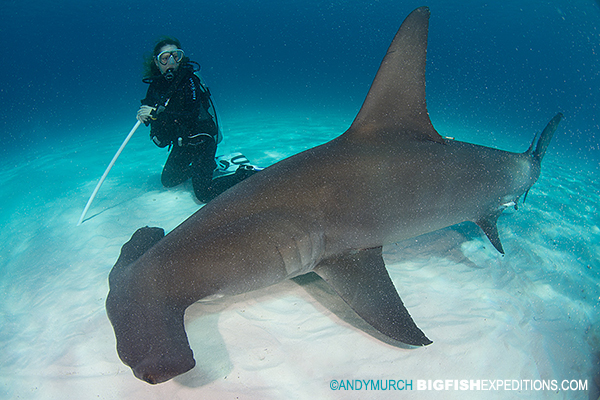 diver and hammerhead