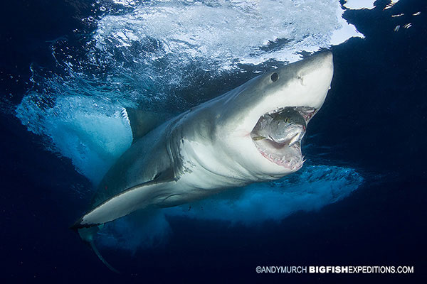 A big great white shark next to some cage divers