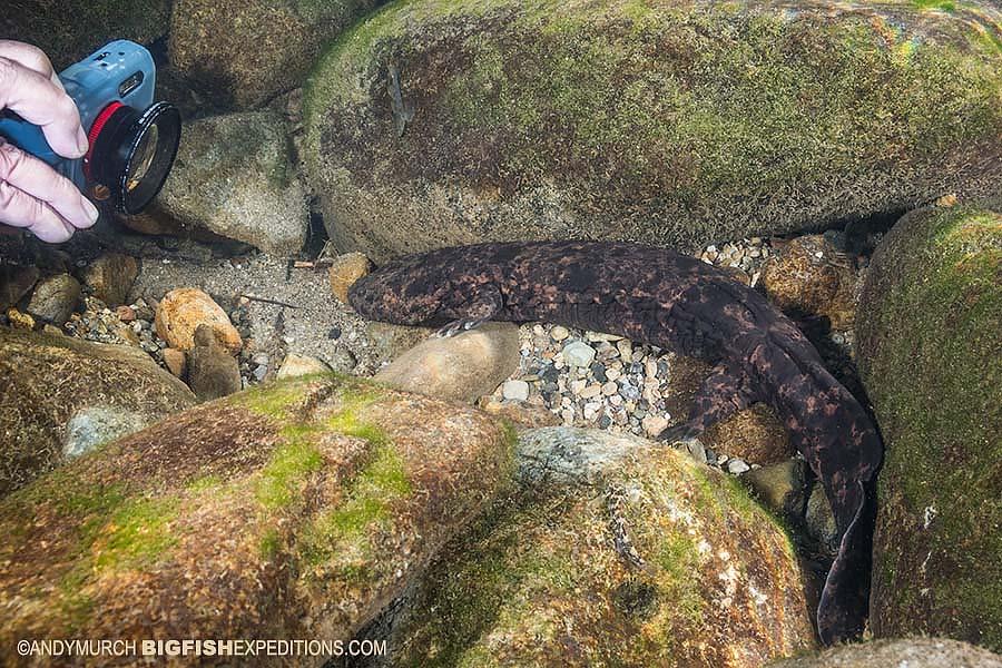 Juvenile Giant Salamander Snorkeling
