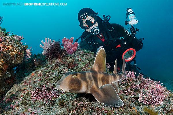 Japanese horn shark or japanese bullhead shark