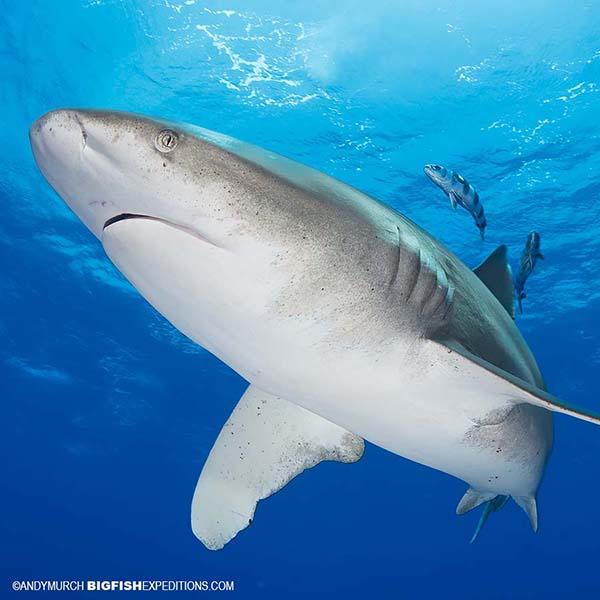 Oceanic Whitetip Shark Diving
