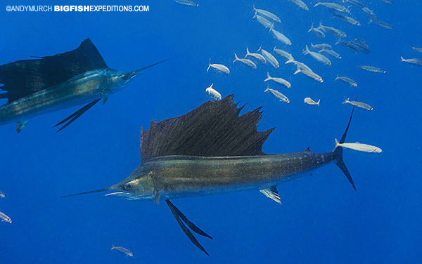 Dive with sailfish