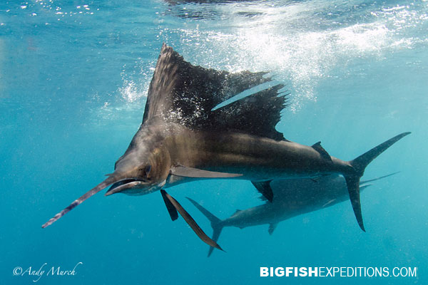 Sailfish Diving