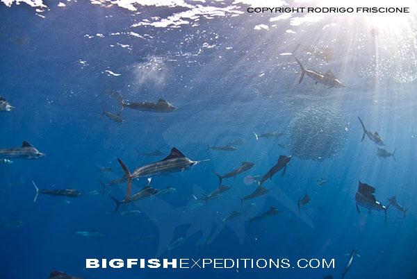 Sailfish Baitball Free Diving
