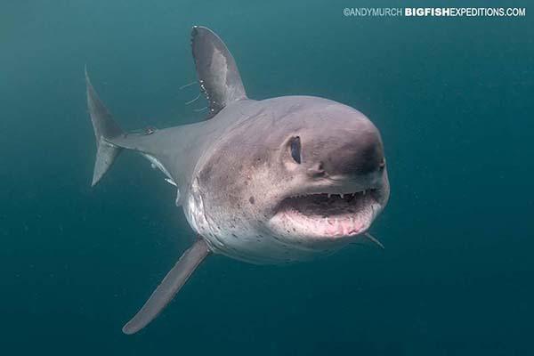 Head-on shot of a salmon shark