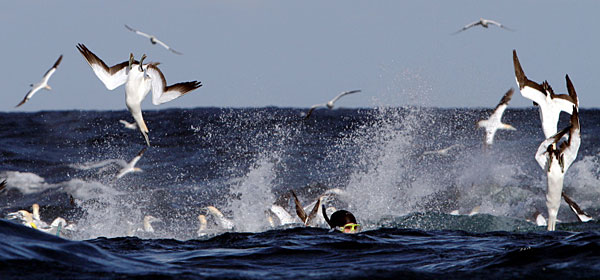 Sardine Run birds diving