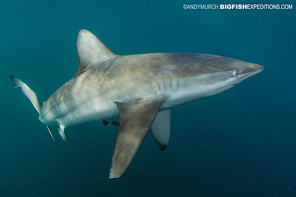 bronze whaler shark with pectoral fins down