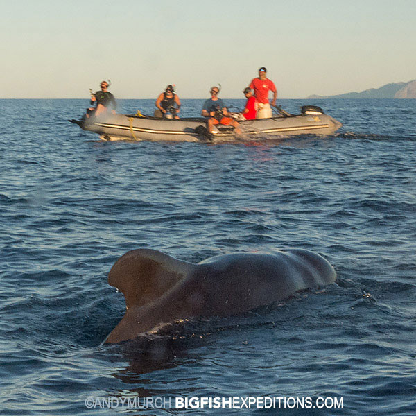 diving with pilot whales in the sea of cortez