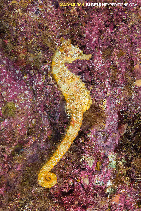 Pacific seahorse in the gulf of california