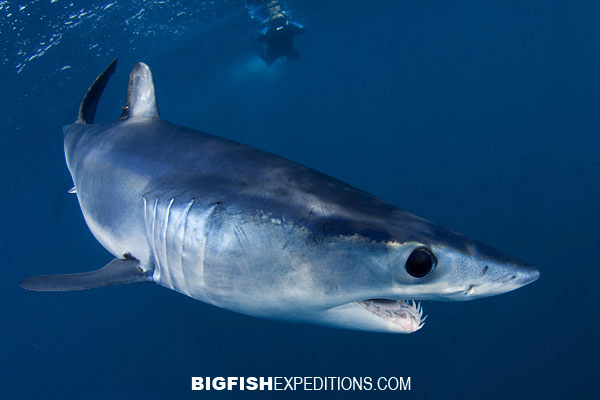 Dive with mako shark in Cabo San Lucas