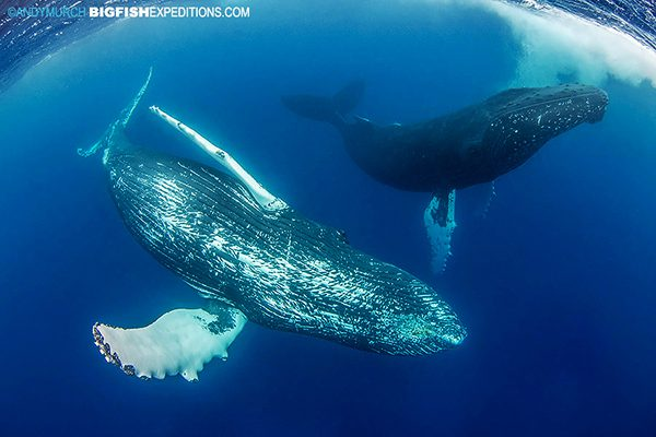 Two rowdy humpback whales diving