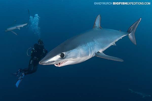Mako shark diving in South Africa