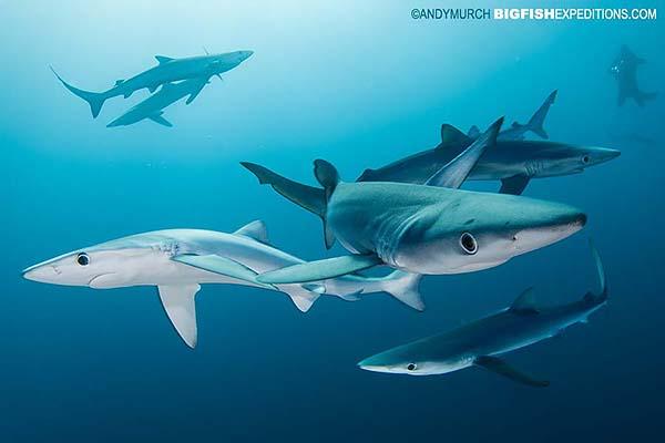 South African Shark Diving Safari