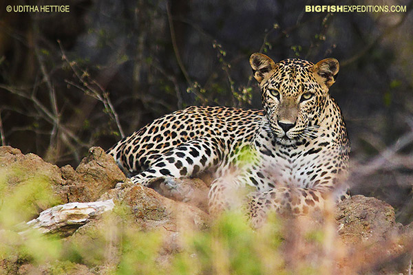 Sri Lankan Leopard Safari