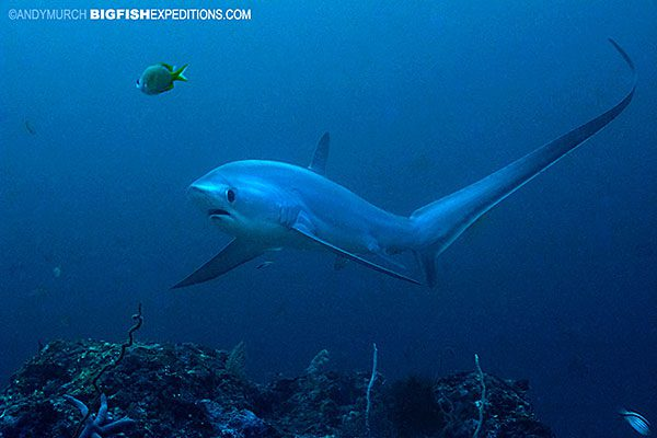 Thresher shark diving in Malapascua