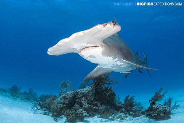 Great hammerhead shark diving at Tiger Beach.