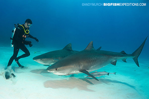 Diver with two tiger sharks at Tiger Beach
