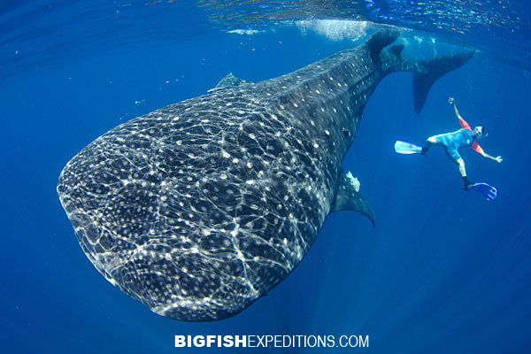 Whale Shark Diving Isla Mujeres2