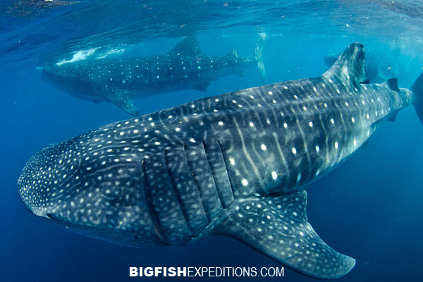Whale sharks swimming
