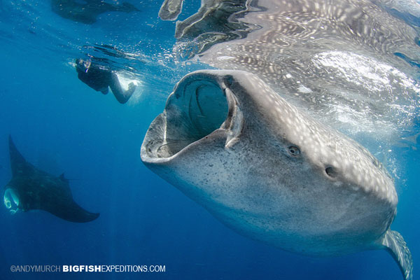 Diver with a whale shark and a manta