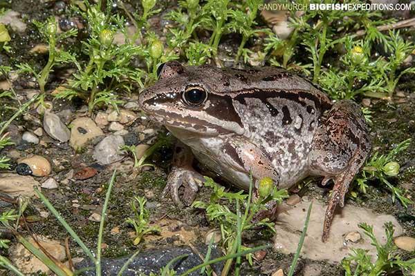 Wood frog, Churchill Canada