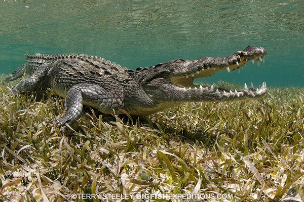 Crocodile diving in Mexico
