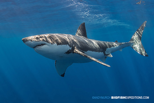 Bucket list great white shark dive
