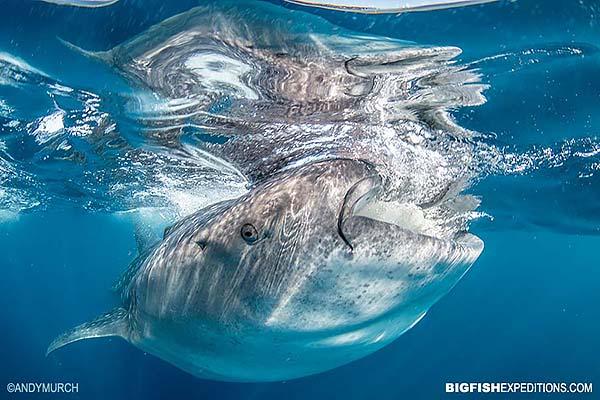 Feeding whale shark near Cancun