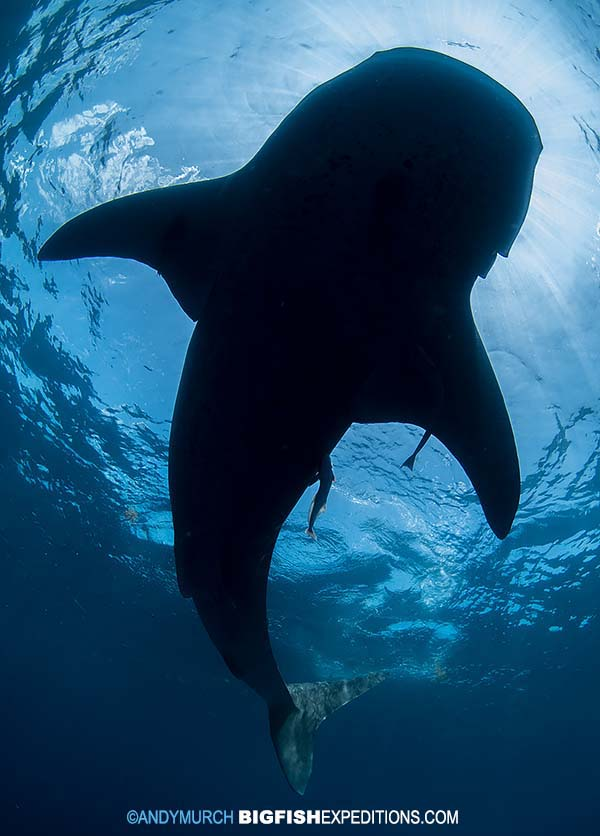 Silhouette of a whale shark while snorkeling in Mexico